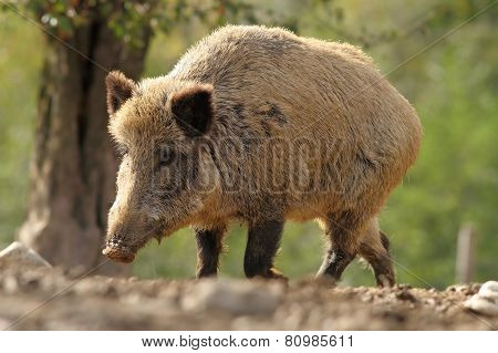 Big Wild Boar Sow