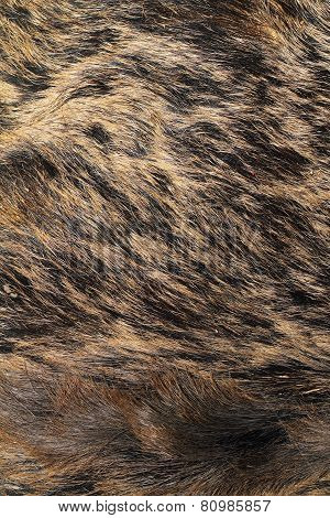 Detail On Wild Boar Pelt