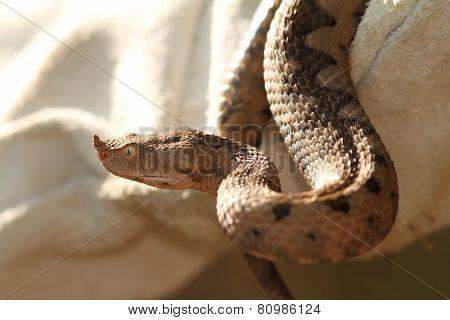 Sand Viper In Leather Glove