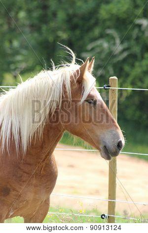 Beautiful Haflinger Horse Portrait