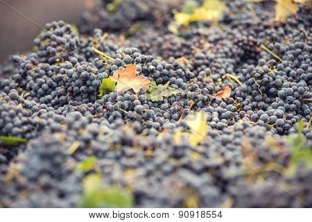 grapes for red wine at the winery
