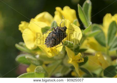 Stink bug Rhaphigaster nebulosa