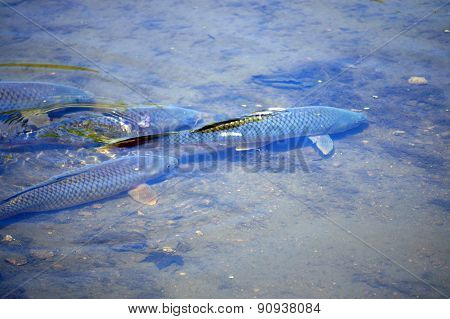 Carp Swimming in a Shallow Culvert