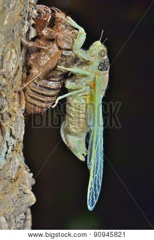 New-born Cicada