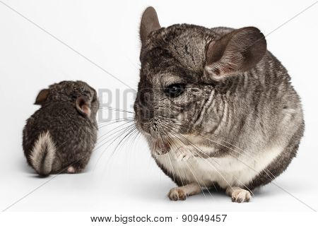Closeup Mama And Baby Chinchilla In Front View On White
