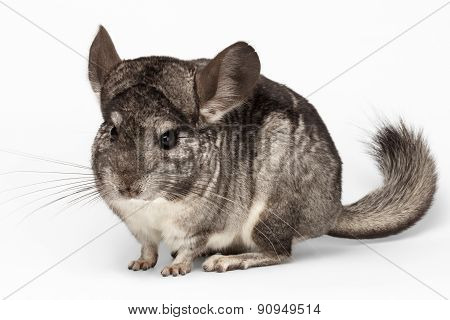Closeup Chinchilla In Front View On White