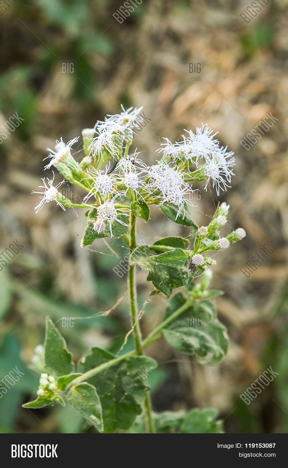 Close White Siam Weed Image & Photo (Free Trial) | Bigstock