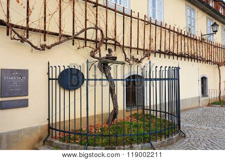 Oldest vine in the world in Maribor Slovenia.