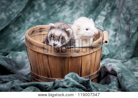 Two Ferrets In Basket.