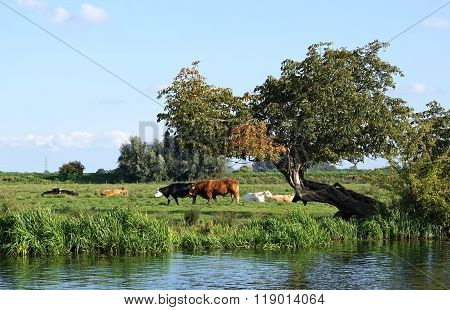 Cows In The Cambridgeshire Fens