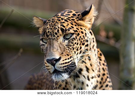 Portrait Of Persian Leopard