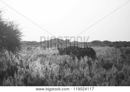 Black Rhino Bw