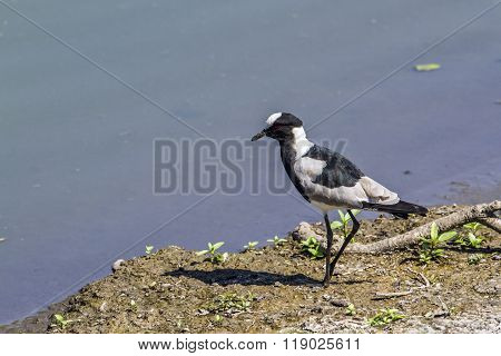 Blacksmith Lapwing In Kruger National Park, South Africa