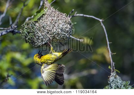 Village Weaver In Kruger National Park, South Africa