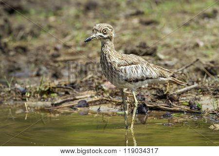 Specie Burhinus vermiculatus family of Burhinidae, Thick-knee In Kruger National Park, South Africa poster