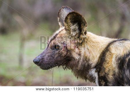 African Wild Dog In Kruger National Park, South Africa