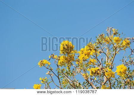 Silver Trumpet Tree or Tree of Gold