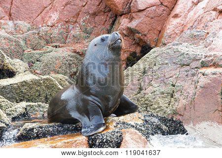 Sea lions fighting for a rock in the peruvian coast at Ballestas islands Peru
