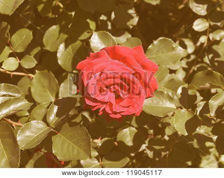 Retro Looking Rose