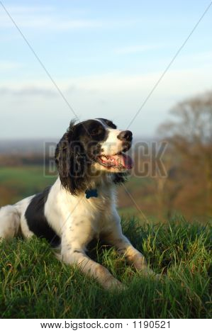 english springer spaniel sitting down looking out over the countryside.portrait view with copy space. poster