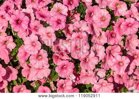 Petunias Flowers