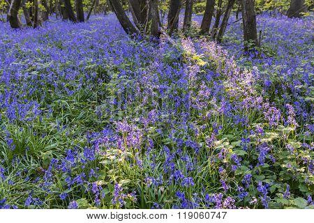 Purple Bluebells