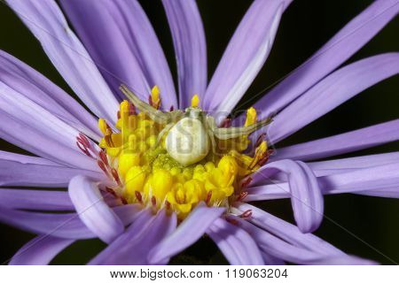 Crab Spider (misumena Vatia) On Purple Aster