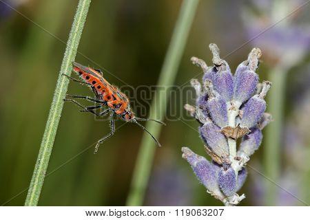 Cinnamon Bug (corizus Hyoscyami)