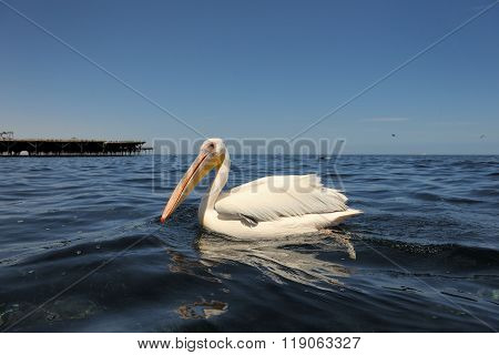Great White Pelican in water, in low angle