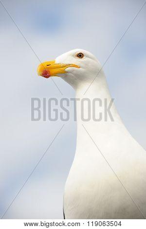 Portrait of a Kelp Gull