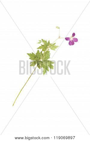 Pressed And Dried Flower  Geranium Pratense. Isolated On White Background.