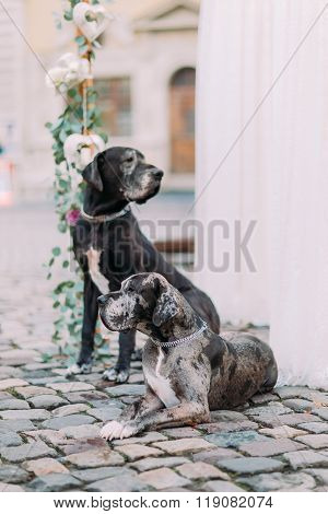 Two purebred hounds sitting near wedding decorations in the lviv city center