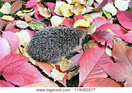 Forest Wild Hedgehog On The Fall Leaves