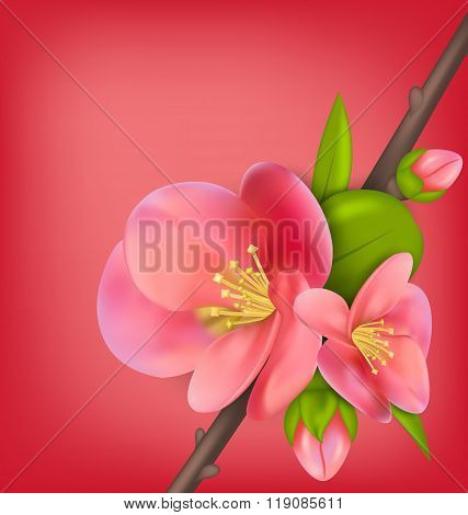 Branch with Buds of Japanese Quince Chaenomeles japonica