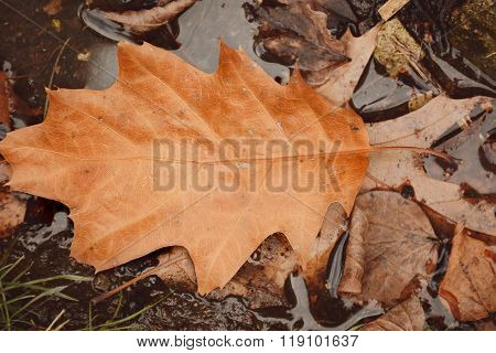 Dry Autumn Leafs