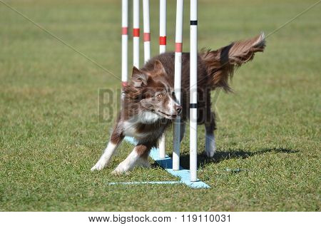 Border Collie At A Dog Agility Trial