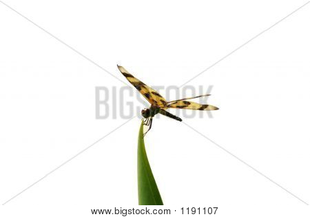 Dragonfly Over White