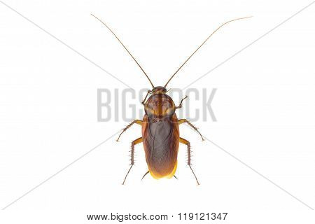 Close Up Cockroach Isolated On White Background