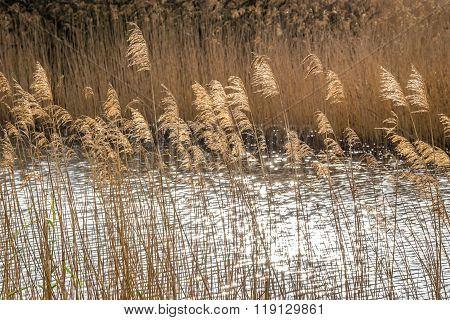 Golden Branches Of Dried Pampas Grass