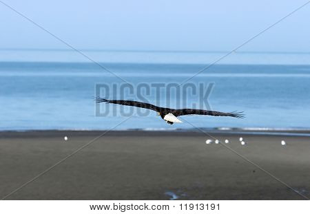Bald eagle flying over the shore