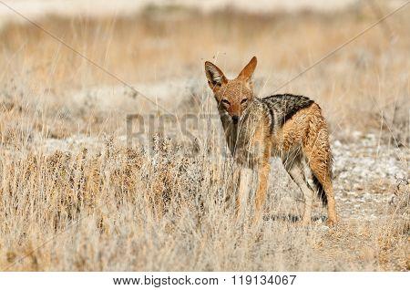 Jackal (Canis mesomelas) in the dry savannah of Namibia