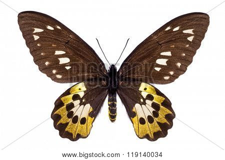 Beautiful colorful butterfly with brown and yellow wings isolated on white. Ornithoptera, Goliath Samson or Arfakensis