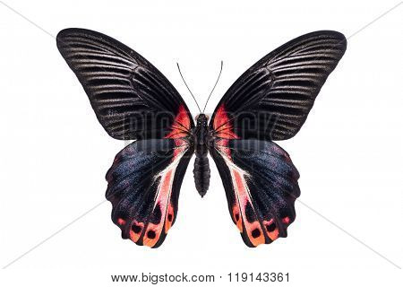 Beautiful colorful butterfly with black and red wings isolated on white. Papilio Memnon (Great Mormon).