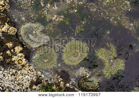 Anemones Open In An Ocean Tidepool