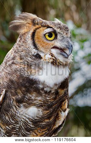 Great Horned Owl 03
