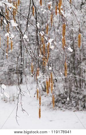 frozen aments