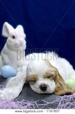 9 week old american cocker spaniel puppy with easter bunny poster