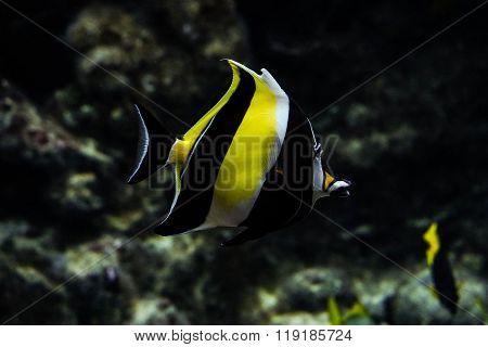 Marine tropical butterflyfish
