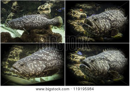 Photo set: Goliath grouper (Epinephelus itajara)