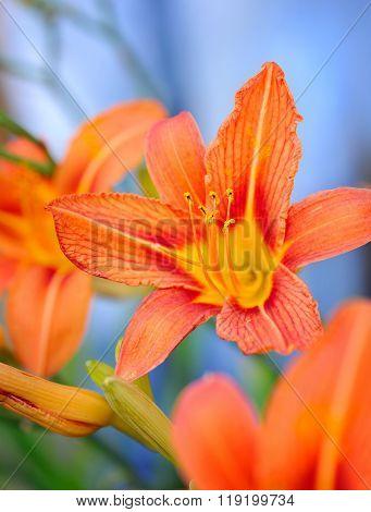 Hemerocallis - Beautiful Daylily Flowers Blossom In The Garden